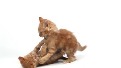 Red Tabby Domestic Cat, Kittens playing against White Background, Slow motion