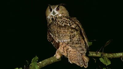 European Eagle Owl, asio otus, Adult standing on Branch, Normandy in France, Real Time