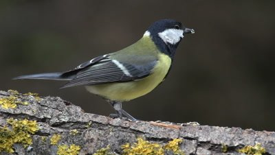 Great Tit, parus major, Adult with Seed in its Beak, Taking off from Branch, Normandy, Real Time
