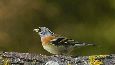 Brambling, fringilla montifringilla, Adult eating Seeds on Branch, Normandy, Real Time