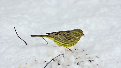 Yellowhammer, emberiza citrinella, Female eating Seeds in Snow, Normandy, Real Time