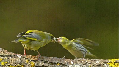 European Greenfinch, carduelis chloris, Male with Food in its Beak, attacking an Eurasian Siskin, carduelis spinus, Normandy, Real Time