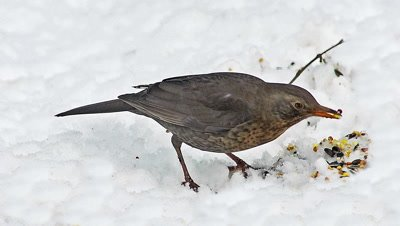 Blackbird, turdus merula, Female eating Seeds on snow, Normandy, real Time