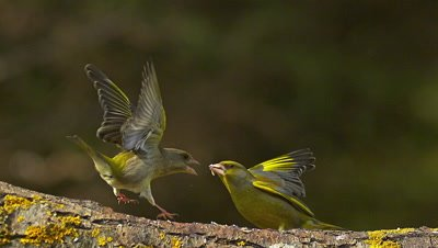 European Greenfinch, carduelis chloris, Female attacking Male, Normandy, Slow Motion