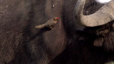 Red Billed Oxpecker, buphagus erythrorhynchus standing on African Buffalo, syncerus caffer, Okavango Delta in Botswana, Slow Motion