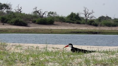 Black Skimmer, rynchops niger, Adult in Flight, Taking off, Chobe River, Okavango Delta in Botsana, Slow Motion