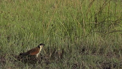 Senegal Coucal, centropus senegalensis, Adult taking off, in Flight, Moremi Reserve, Okavango Delta in Botswana, Slow motion