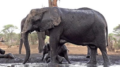 African Elephant, loxodonta africana, Adult having Mud Bath, Near Chobe River, Botswana, Slow Motion