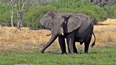 African Elephant, loxodonta africana, Adult spraying water and mud at Khwai River, Moremi Reserve, Okavango Delta in Botswana, Slow Motion