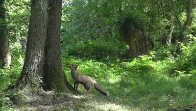 Red Fox, vulpes vulpes, Adult Leaping to Catch Prey, Normandy, Slow Motion