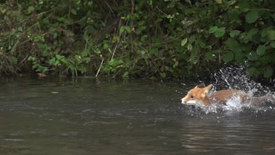 Red Fox, vulpes vulpes, Adult crossing River, Normandy in France, Slow motion