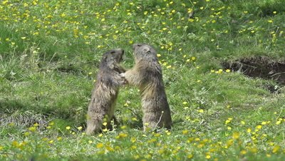 Alpine Marmot, marmota marmota, Adults playing or Fighting, France, Slow Motion