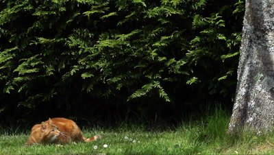 Red Tabby Domestic Cat jumping on Tree Trunk, Normandy, Slow Motion