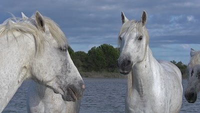 Camargue Horse, Group standing in Swamp, Saintes Marie de la Mer in The South of France, Real Time