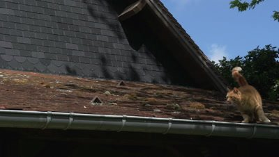 Red Tabby Domestic Cat walking on Roof, Normandy, Real Time