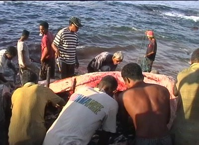 Lamalera whalehunting villagers cutting prey in pieces on the shore