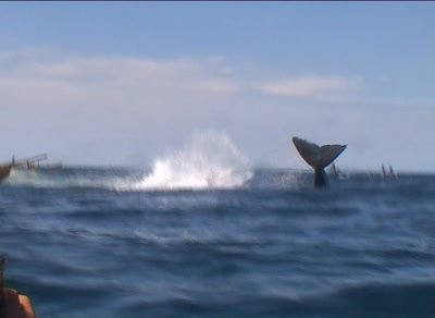 Harpooned spermwhale struggling,dragging whalehunter's boat,