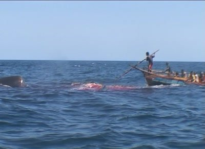 Harpooned spermwhale struggling,dragging whalehunter's boat