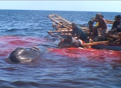 Whalehunters cutting wounds on spermwhale from boat