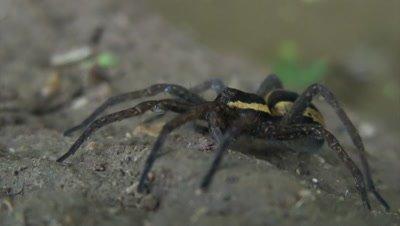 Raft spider Dolomedes fimbriatus