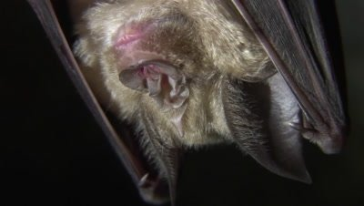 Small horseshoe bat Rhinolophus hipposideros