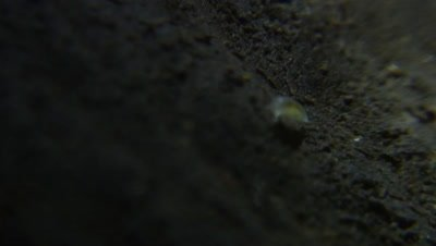 Mesoniscus graniger woodlice isopod in Aggtelek National  Park cave