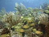 Schooling Grunts In Corals