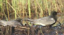 Nesting Black Terns