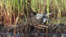 Black Tern Lands On Nest