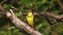Canada Warbler Sings In Tree