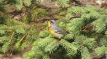 Northern Parula Perched In Tree Singing