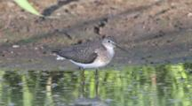 Solitary Sandpiper Feeds On Mud Flat Shore