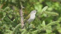 Tennessee Warbler Sings In Conifer Tree