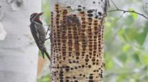Yellow-Bellied Sapsucker Feeds On Tree
