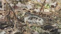 American Woodcock Rests In Leaf Litter