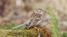 Field Sparrow Singing