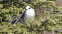 Gray Jay In Spruce