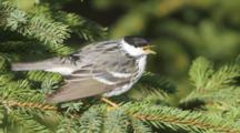 Blackpoll Warbler Perched In Spruce Tree