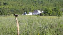 Bobolink Perched Singing