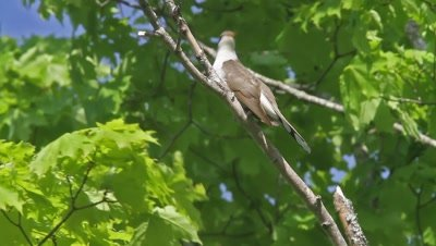 Yellow-billed Cuckoo Perched in Tree