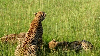 Cheetah cubs feed on topi fawn,as mother looks out for danger (Maasai Mara) 4K