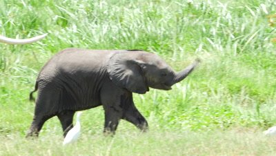 Cute baby elephant eats and swings his trunk while walking along with mother 4K horizontal pan
