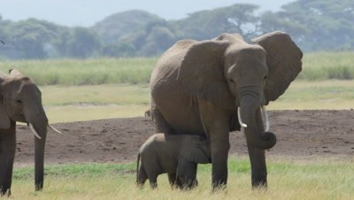 Cute baby elephant walks under mother and starts nursing wide 4K Kenya Amboseli