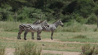 Trio of Zebras looking into the distance