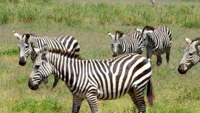 Small group of zebras walking through the savanna grass