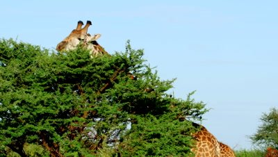 Giraffes feeding from Acacia tree