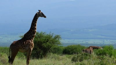 Giraffes feeding on Acacia trees; one turns to stare at camera