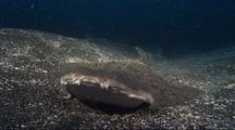 Angel Shark Buries Itself
