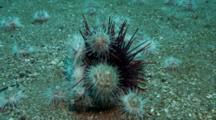 Time Lapse White Urchins Attack Red Urchin