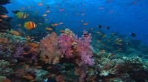 Coral Reef With Soft Corals And Anthias